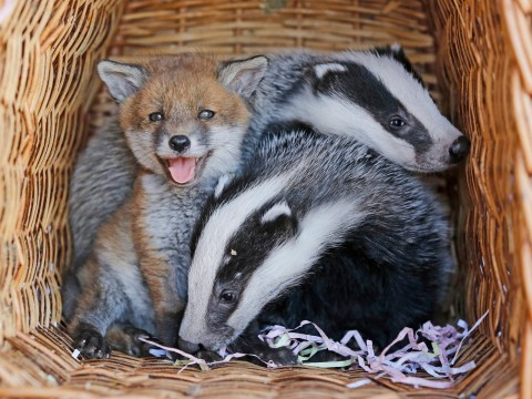 Abandoned fox cub adopted by orphaned baby badgers at animal sanctuary