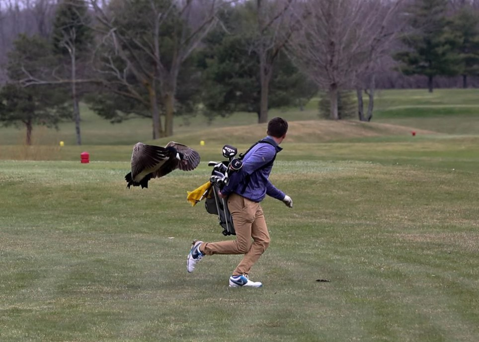 METRO GRAB - taken from the Twitter of BlissAthletics without permission from photographer Devon Gilson-Pitts - editorial decision to run - Link to photographer and school (links below) Man attacked by goose during golf game https://www.facebook.com/devon.gilsonpitts https://twitter.com/BlissAthletics/status/988123755078733825 Devon Gilson-Pitts - Twitter/BlissAthletics