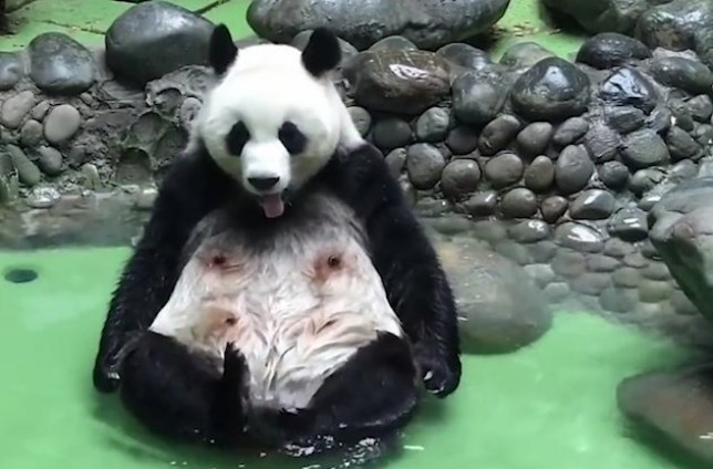 This panda is just what we want to be like this weekend