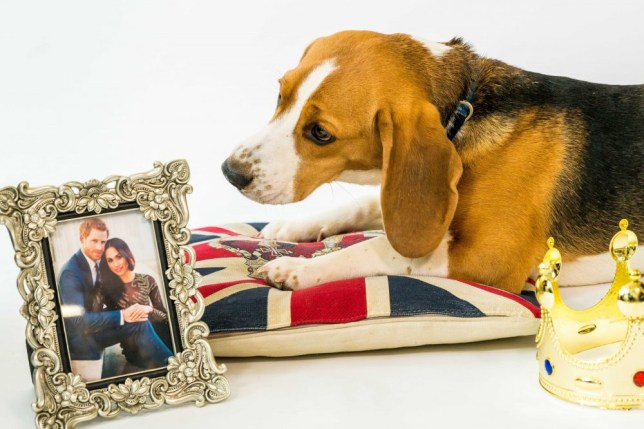 A Beagle looking at a photo of Prince Harry and Meghan Markle