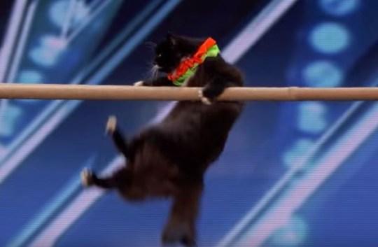 Cat on america's got talent