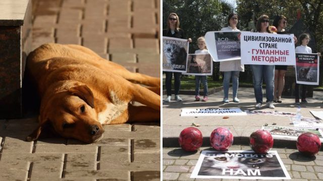 Russia 'poisoning thousands of stray dogs ahead of the World Cup'
