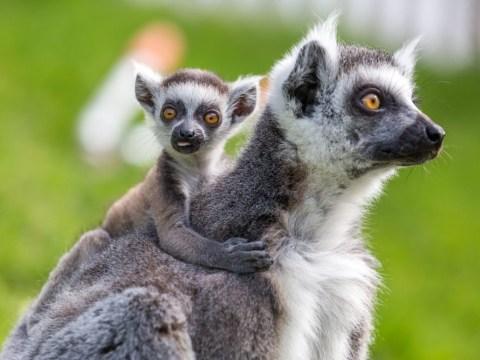 Woburn Safari Park wants people to name this baby lemur