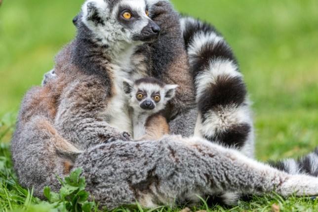 Baby lemur and mum at Woburn Safari Park