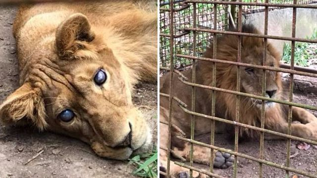 Blind lioness left in squalor after being written off as 'breeding mistake'