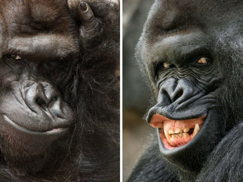 This gorilla can't get enough of the camera