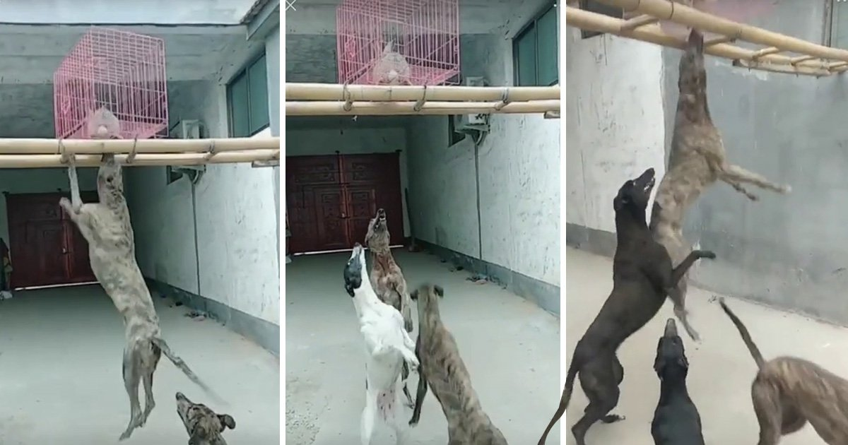 Dogs made to fight to the death over live rabbit food inside slaughterhouse