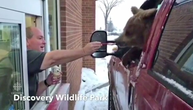 Berkley the bear was fed ice cream at Discovery Wildlife Park, Alberta, Canada (Picture: Discovery Wildlife Park)
