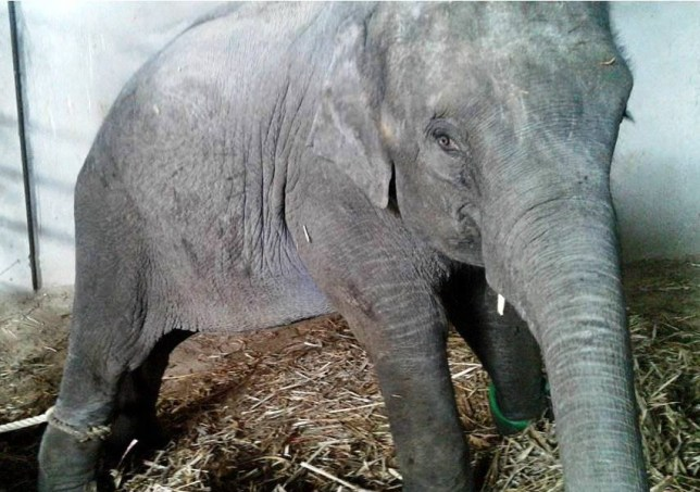 Chained up elephant calf cries for mum in heart-breaking