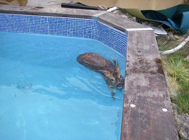 An RSPCA officer managed to perform life-saving CPR on a drowning deer after it fell into a family's swimming pool. RSPCA inspector Alan Browning dashed to the rescue after the young male deer was spotted frantically struggling to keep its head above water in the back garden pool for over an hour. Mr Browning, 58, managed to grab the roe deer using a pole with a noose on the end of it moments before it drowned and dragged the now 'motionless' animal to the side of the pool where he performed CPR. After working on the deer for around five minutes it finally coughed up the chlorinated water. To revive the poor animal he then vigorously dried it with a large towel for 10 minutes until it managed to get to its feet, before running off from the detached house in Hedge End, near Southampton, Hants. SEE OUR COPY FOR DETAILS. Please byline: RSPCA/Solent News ? RSPCA/Solent News & Photo Agency UK +44 (0) 2380 458800
