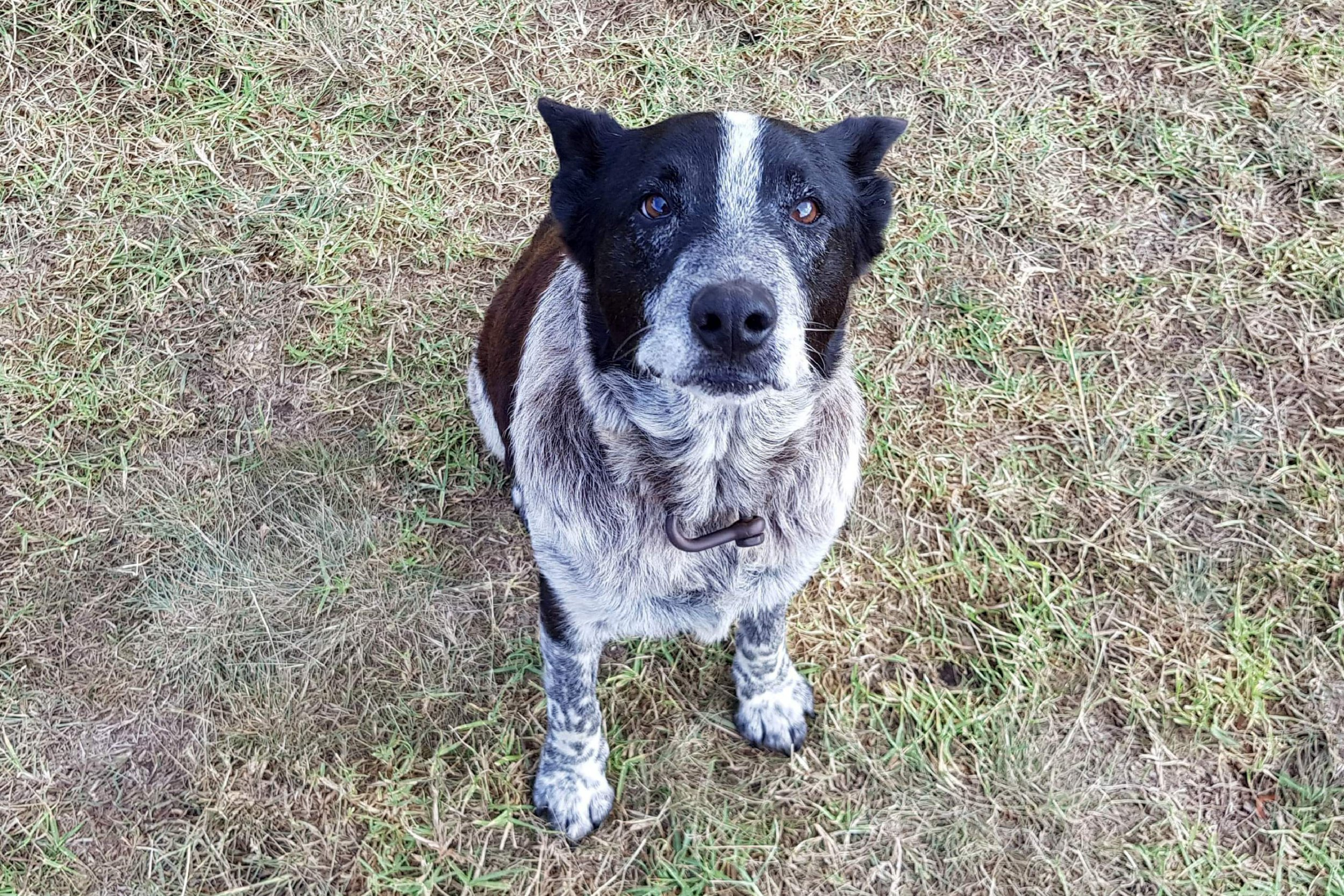 """This handout from Kelly Benston taken and received on April 21, 2018 shows Max, a seventeen-year-old blue heeler, in Warwick after he spent the night with a lost three-year-old in Australian bushland. Max, a deaf and partially blind dog that kept a lost three-year-old safe in Australian bushland overnight, was awarded police honours on April 21 after leading rescuers to the child. / AFP PHOTO / KELLY BENSTON / Kelly BENSTON / RESTRICTED TO EDITORIAL USE - MANDATORY CREDIT """"AFP PHOTO/KELLY BENSTON"""" - NO MARKETING NO ADVERTISING CAMPAIGNS - DISTRIBUTED AS A SERVICE TO CLIENTS - NO ARCHIVE KELLY BENSTON/AFP/Getty Images"""
