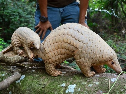 What is a pangolin and why are they poached?