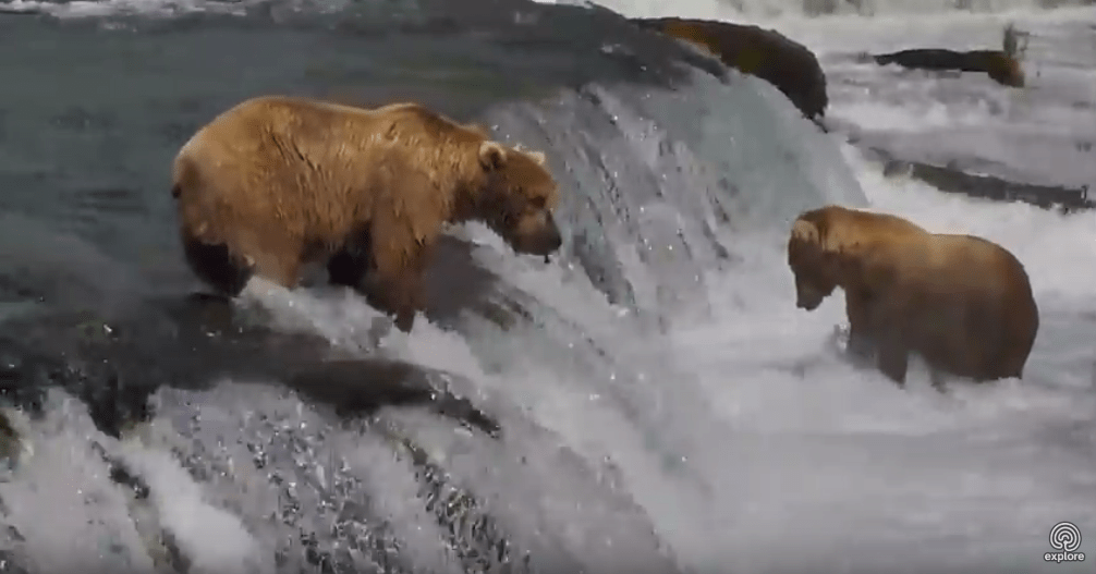 Bears frolicking on a waterfall on the Explore bear live stream