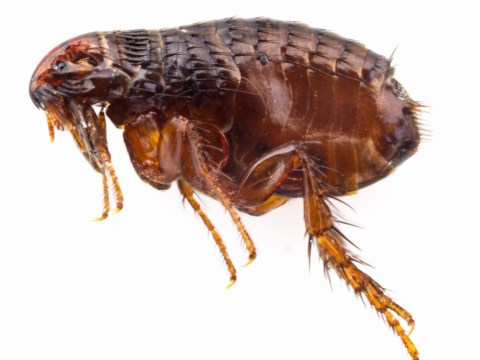 Can fleas live on humans?