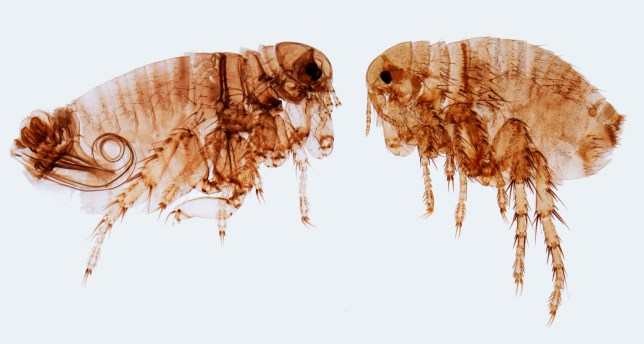 can humans get fleas from dogs