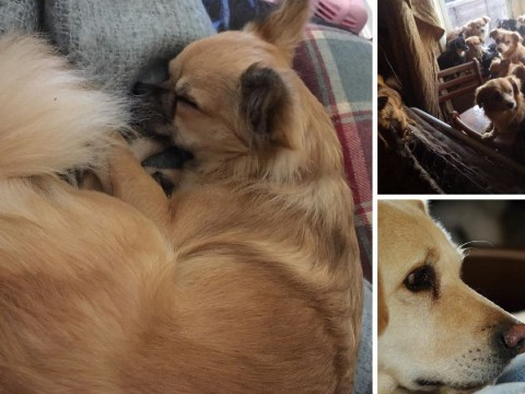 Tiny dog loving life in new home after being rescued with 81 fellow chihuahuas