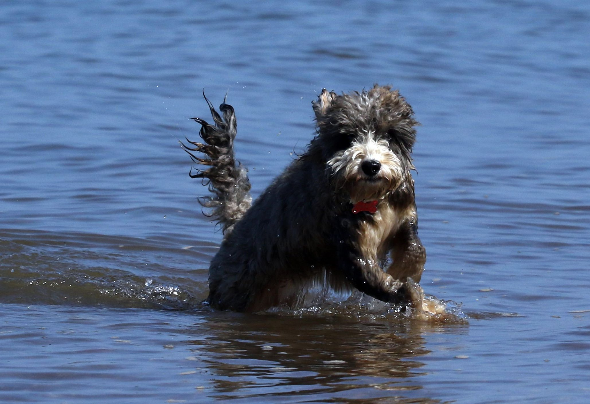 Mandatory Credit: Photo by Paul Marriott/REX/Shutterstock (9663439f) Cookie the cockapoo dog enjoys a dip in the sea during the hot weather at Hunstanton, Norfolk Seasonal weather, UK - 05 May 2018