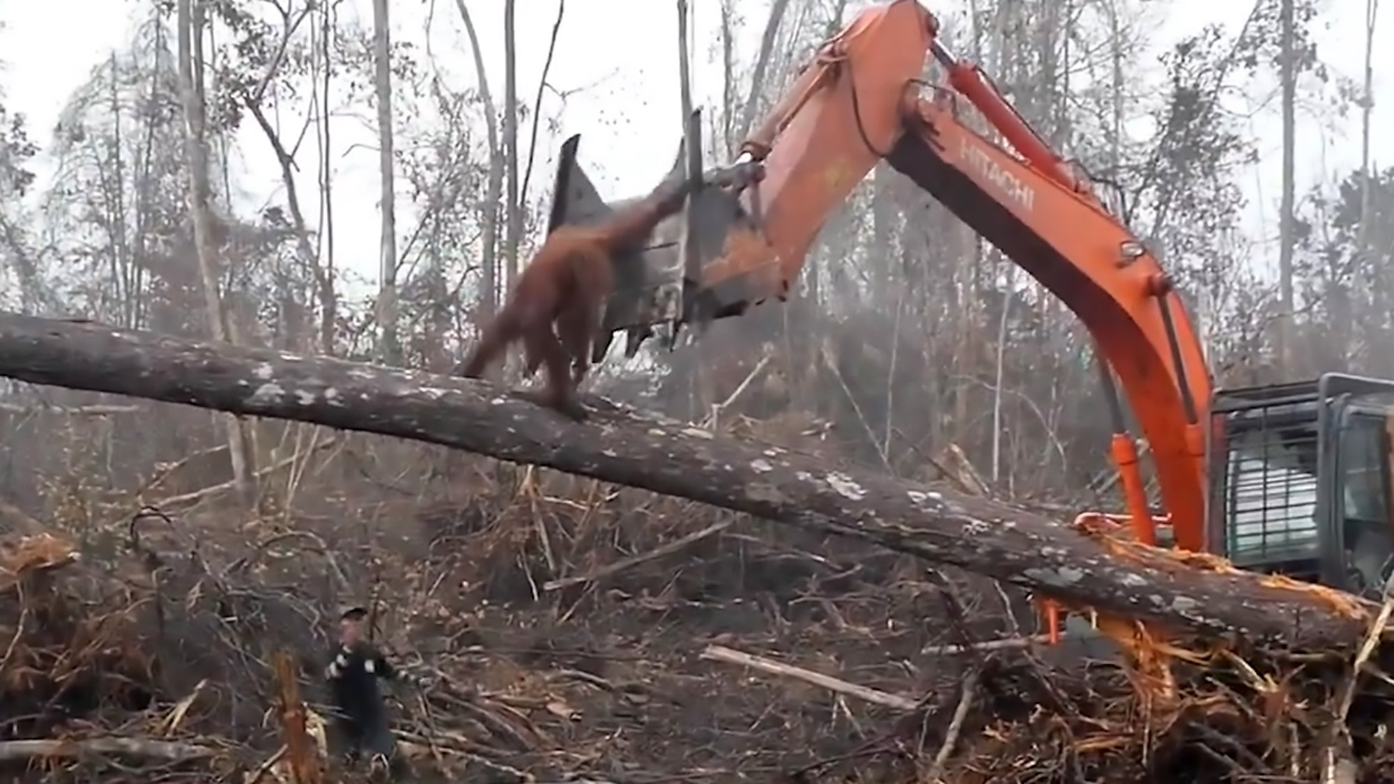 Pics shows: The orangutan attempts to stop the bulldozer with its bare hands; In this video an orangutan can been seen battling loggers and using its hands in an apparent bid halt the bulldozer that is tearing down his tree. The footage was shot in West Kalimantan, a western province in the Indonesian part of Borneo. The International Animal Rescue group that released the footage said the loggers had torn apart all the animal???s surrounding trees. They said the video shows the orangutan (Pongo pygmaeus) desperately seeking refuge after appearing to grapple with the teeth of the bulldozer???s hydraulic arm attachment. The primate then dips beneath it and jumps to the ground before it was allegedly chased off by loggers. Animal rescue workers later found the orangutan and brought the animal to safety. Two years ago Bornean orangutans were added to an international watch list because pressures such as poaching and the removal of their habitats were pushing them close to extinction. On Borneo there are an estimated 100,000 ??? around a third of the tally in 1973. If nothing is done to alter this downward course, predictions suggest there could be as few as 47,000 orangutans in 2025, with them likely being completely wiped out in 50 years.
