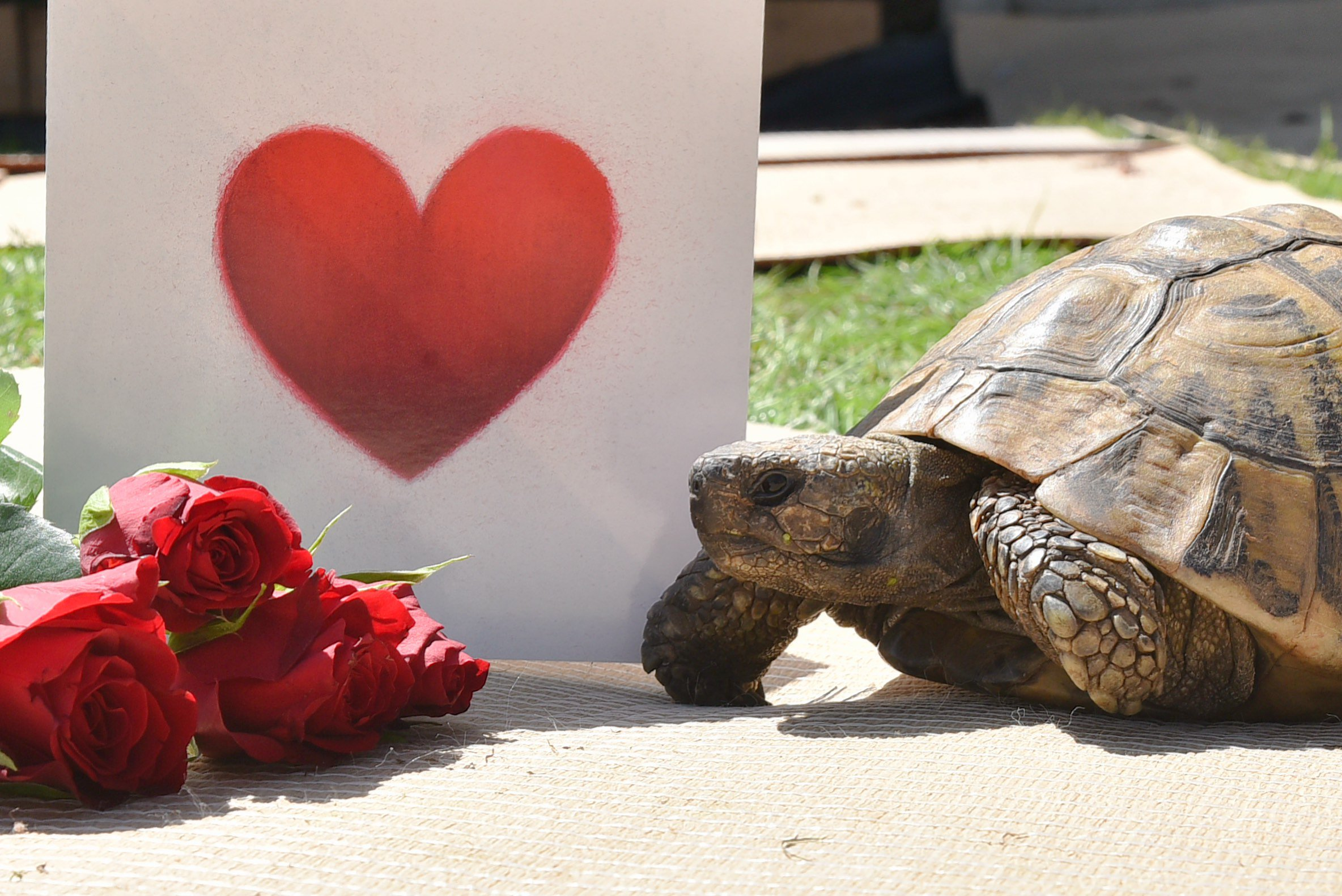 Timmy Tortoise is looking for love. Byline: Sonya Duncan Copyright: Archant 2018