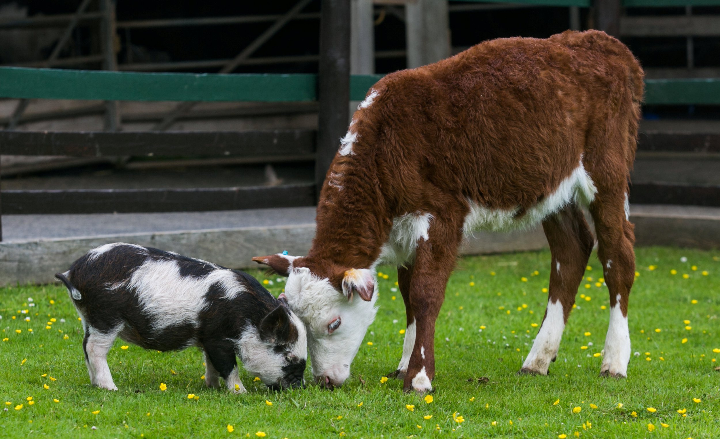 """4 week old Pennywell Miniature Piglet, Mr Sparkles has taken to 12 week old Hereford calf Dainty and the two have become best friends at the Pennywell Farm in Devon. See SWNS story SWFRIENDS; This adorable picture shows the unusual pairing of a cow and a pig at a popular tourist attraction. Mr Sparkles, a 14-week-old miniature piglet was having trouble sleeping at the animal farm, until he met 12-week-old Hereford calf Dainty. The pair, who were both born underweight, instantly hit it off and became firm friends. Now, staff at Pennywell Farm have to keep a close eye on Mr Sparkles as he escapes to be with his best bud Dainty at every opportunity. Chris Murray, 67, co-owner of the farm attraction, said: """"Dainty was small when she was born, she was tiny, that's why she's called Dainty."""