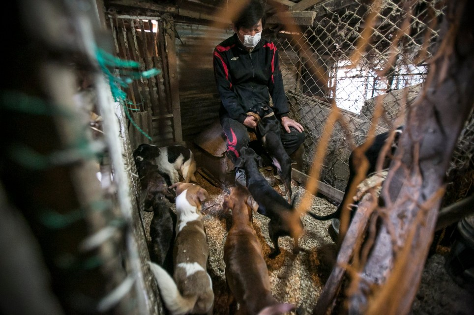 "Dogs inside the cage which houses eight dogs at a dog meat farm in Goyang, South Korea on Friday, March 3, 2017. Humane Society International (HSI) is in the process of closing down this farm and will be removing the dogs and transporting them to the United States in late March. The operation is part of HSI's efforts to fight the dog meat trade throughout Asia. In South Korea, the campaign includes working to raise awareness among Koreans about the plight of ""meat dogs,"" no different from the animals more and more of them are keeping as pets. Credit: Jean Chung/Humane Society International"