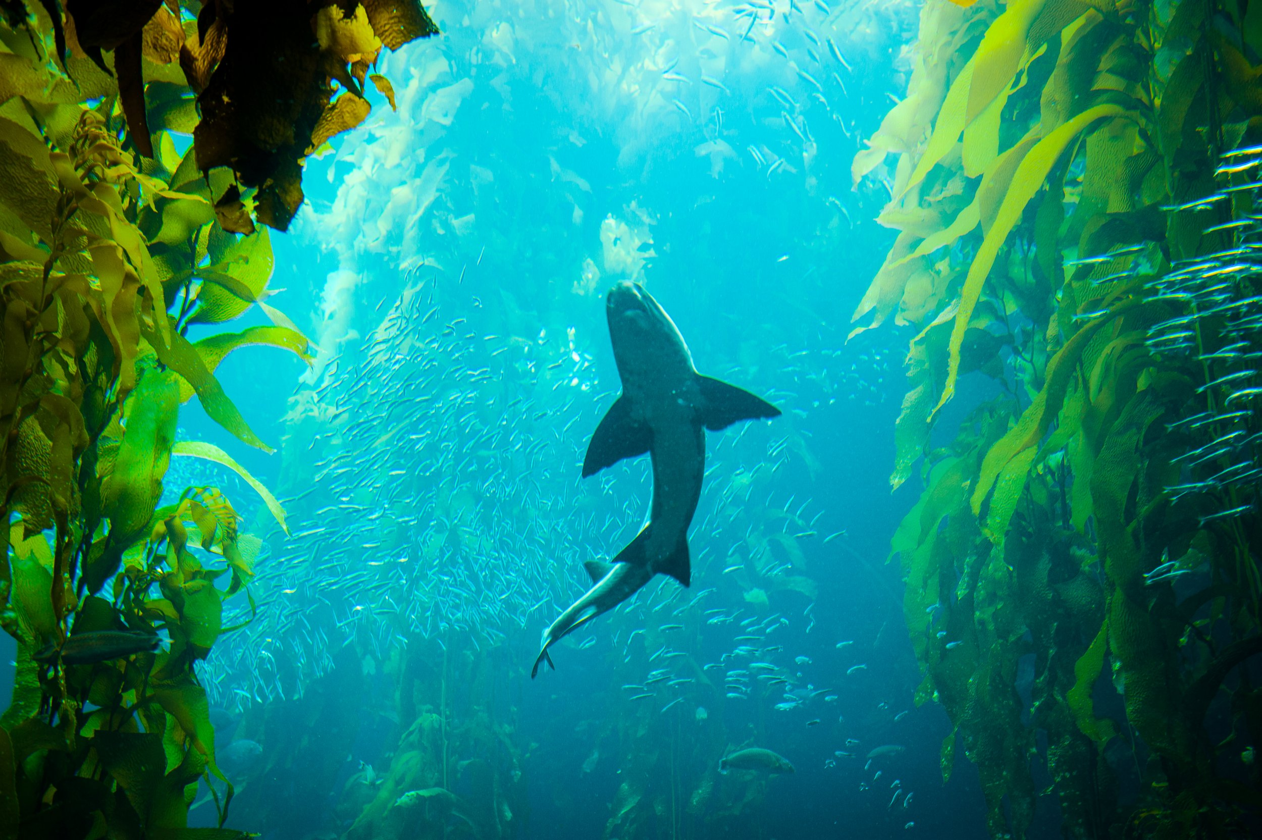 A shark is swimming in the kelp forest in the sea.