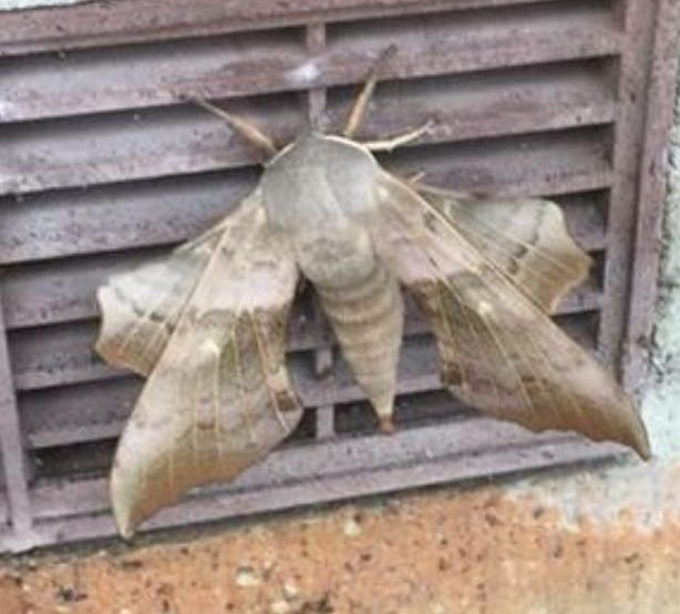 Giant sexed-up moths have woken up because of the warm weather - and they're on the prowl for a partner. People in Wirral have been taking to social media to report numerous sightings of the mammoth insects in their gardens and on walls - with some saying their close encounters left them terrified. caption: The giant moth spotted by Julie Jones outside McDonalds at the Rock Retail Park, Birkenhead