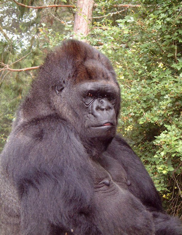 Famous gorilla Koko who could do sign language has died at the age of 46 METRO GRAB taken from: http://www.koko.org Credit: Rohn Cohn/The Gorillia Foundation