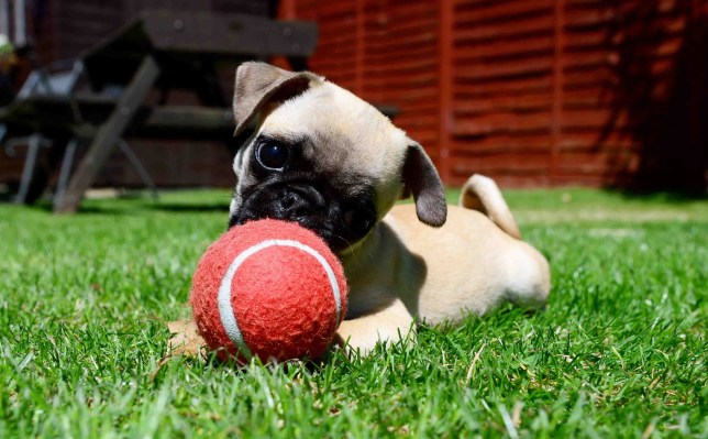 Meet Otis, the dog gunning for the record of smallest pug ...
