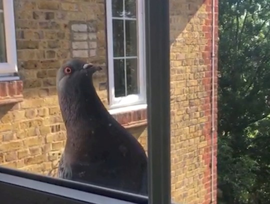 A pigeon is seen in the window of a flat in south London. See National News story NNPIGEON; Young professionals in a Victorian building are living in fear because their flats are being besieged - by PIGEONS. Flocks of birds keep landing on the windowsills of the four-storey building - which is split into four flats - and the pesky flying rats keep finding their way inside. Pictures and videos show bewildered tenants battling to keep pesky pigeons out of their homes, in Wandsworth, south west London. The beady-eyed visitors are flocking to the building in scenes not unlike those in Alfred Hitchcock horror film 'The Birds' - although fortunately they have yet to strike on a human target.