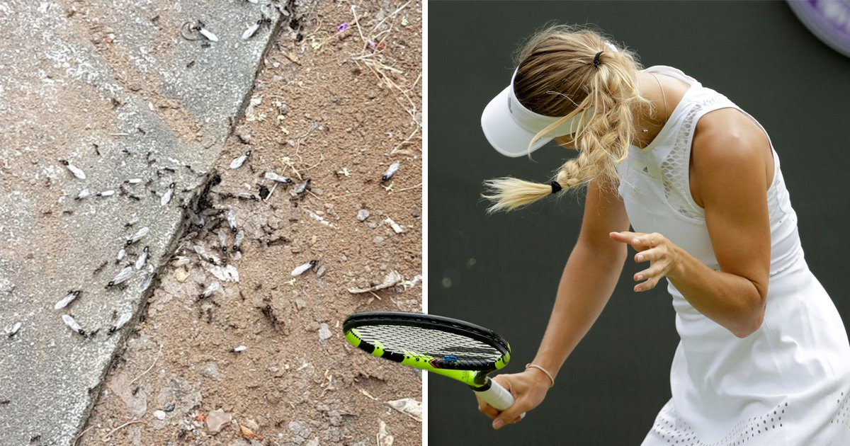 Flying Ant Day sees swarms descend on London causing chaos at Wimbledon