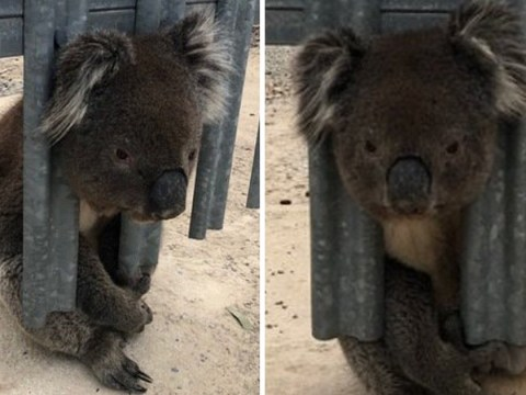 Accident-prone koala rescued for a third time after getting stuck in fence