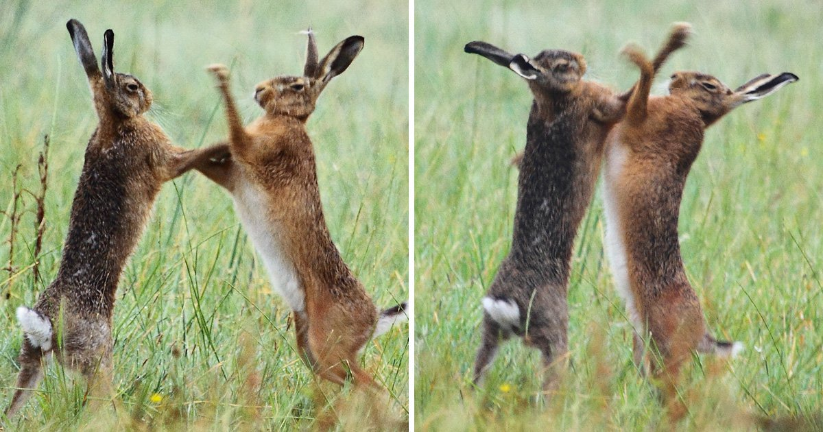 Female hare forced to challenge male hare to boxing match when he doesn't take the hint
