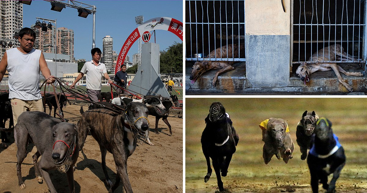Hundreds of abandoned greyhounds awaiting their fate after closure of race track
