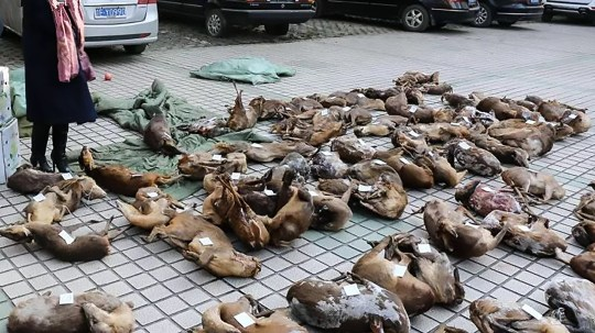 Pics shows: The carcasses of more than 17,000 animals were found and recovered; Chinese authorities have seized over 17,000 animal carcasses in a bust targeting a huge countrywide wildlife trafficking network they say was run online and involved government employees. The Jiangxi Province Forestry Public Security Bureau in East China said the unprecedented underground black-market network involved farmers, workers, businessmen, students and even civil servants on a government payroll. The network???s operations first came to light on Christmas Eve of 2017 when toll road officers in the province???s Pingxiang city discovered a suspicious lorry purportedly transporting apples. A random check revealed that the vehicle had in fact been hauling a shipment of Indian muntjac (Muntiacus muntjak) and water deer (Hydropotes inermis) carcasses. The former is a species under Jiangxi provincial conservation, while the latter a Class II state-protected species under Chinese wildlife laws. This sparked an investigation which has been ongoing for more than five months, and uncovered the network???s operations - which were tied together online - in 15 provinces and cities across China. In Jiangxi Province alone, offenders were tracked to 11 cities and more than 30 counties, where endangered or protected animals would be poached, sold and then transported to black-market buyers on a large scale. In the months since, wildlife authorities have opened 27 cases, arrested 44 suspects and recovered more than 17,000 carcasses belonging to provincially or state-protected animals, forestry officials said. Of note are believed to be government employees working for railways and goods inspection organs who allegedly issued false transport certificates to make a profit from the trafficking activities. Jiangxi forestry officials, who are under China???s State Forestry Administration, said further details about the case were still being investigated but have called the announcement the pr