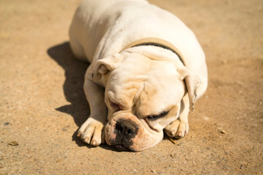 White bulldog lying down on the ground in a a farm