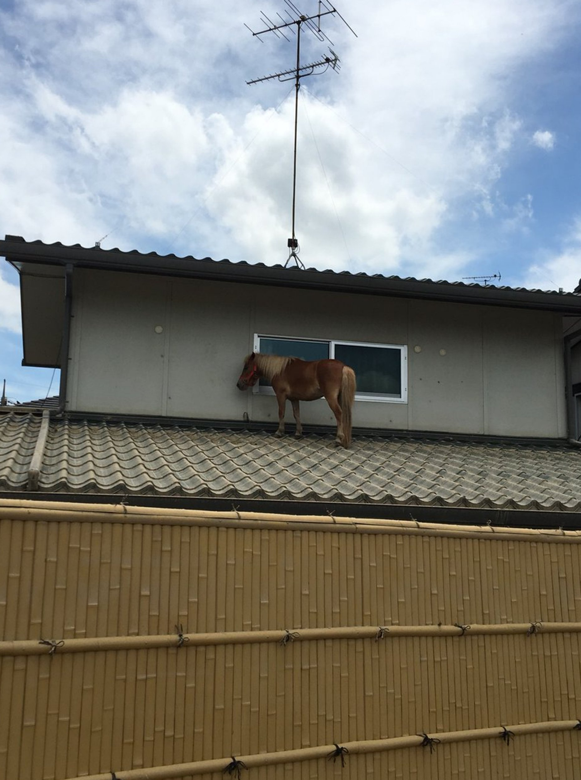 "Pic shows: Leaf was found standing on the roof of a house in Japan after the floods. Amid the scenes of devastation that saw large swathes of the country flooded the site of a miniature pony left trapped on a house roof after the waters receded has been welcomed. The miniature pony named Leaf is used as a therapy animal by the Life Town Mabi organisation that offers care for OAPs at its base in the town of Mabi, in southern Japan. The animal was swept away by floodwaters and last seen disappearing into a rain swollen river, leaving behind a flooded farm where she was looked after together with goats and other animals. Staff working at the centre feared that Leaf, who is a nine year-old-mare, had drowned. The fear was confirmed when they organised a search party in the area and turned up nothing. But then Mari Tanimoto, 49, who works at the organisation, said they got a call to say that Leaf had actually not gone far, and ending up on the roof of a house by the river. Covered in mud, she had also injured one of her legs but was otherwise unharmed. Residents meanwhile are baffled as to how she ended up there insisting that the water levels never reached high enough to leave her on the roof. Getting her down off the roof also posed a problem, and they fed her carrots in order to keep her calm while they devised a strategy that eventually involved bringing her in through a window. Tanimoto said despite the difficulties she was so happy to see the tiny horse that she cried when they were reunited. Another centre worker Masayuki Yoshida, 48, said: ""I thought that she was already dead, but luckily she seems to have survived on the roof."""