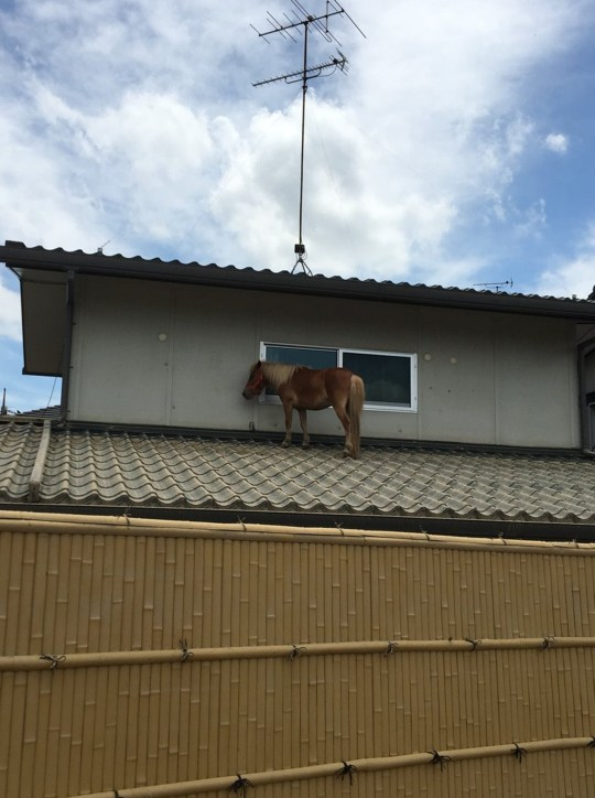 """Pic shows: Leaf was found standing on the roof of a house in Japan after the floods. Amid the scenes of devastation that saw large swathes of the country flooded the site of a miniature pony left trapped on a house roof after the waters receded has been welcomed. The miniature pony named Leaf is used as a therapy animal by the Life Town Mabi organisation that offers care for OAPs at its base in the town of Mabi, in southern Japan. The animal was swept away by floodwaters and last seen disappearing into a rain swollen river, leaving behind a flooded farm where she was looked after together with goats and other animals. Staff working at the centre feared that Leaf, who is a nine year-old-mare, had drowned. The fear was confirmed when they organised a search party in the area and turned up nothing. But then Mari Tanimoto, 49, who works at the organisation, said they got a call to say that Leaf had actually not gone far, and ending up on the roof of a house by the river. Covered in mud, she had also injured one of her legs but was otherwise unharmed. Residents meanwhile are baffled as to how she ended up there insisting that the water levels never reached high enough to leave her on the roof. Getting her down off the roof also posed a problem, and they fed her carrots in order to keep her calm while they devised a strategy that eventually involved bringing her in through a window. Tanimoto said despite the difficulties she was so happy to see the tiny horse that she cried when they were reunited. Another centre worker Masayuki Yoshida, 48, said: """"I thought that she was already dead, but luckily she seems to have survived on the roof."""""""