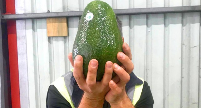 Avozilla, giant avocado available in Australian supermarkets (Picture: Cameron Perna/Mercer Mooney)