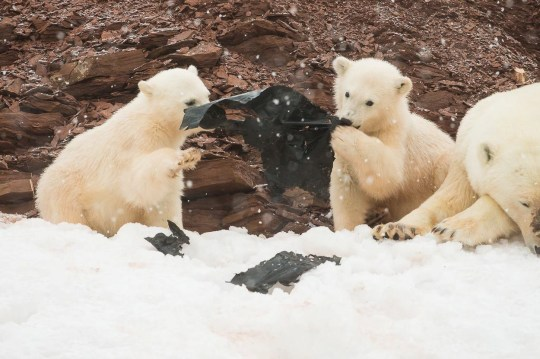 The polar bear cub plays with a sheet of plastic in Svalbard, a Norwegian archipelago about halfway between the mainland and North Pole. See Masons copy MNPLASTIC: These unsettling pictures show two young polar bear cubs playing with a large sheet of plastic on a remote Arctic island. The siblings were spotted with their mother on the icy coast of Svalbard, a Norwegian archipelago about halfway between the mainland and North Pole. The black plastic stands out against the seemingly pristine landscape as the white-furred creatures paw at it, before putting it in their mouths.