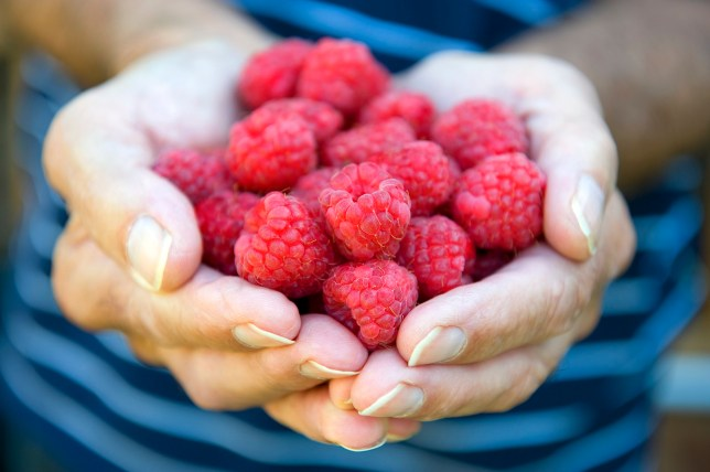 Mature male gardener holding raspberries