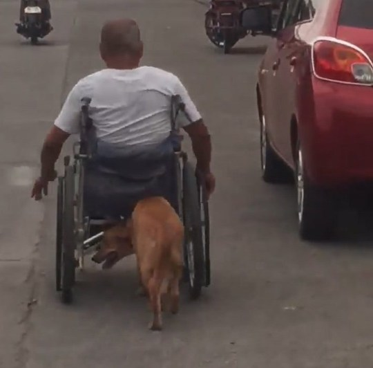 NEWS COPY - WITH VIDEO AND PICTURES This is the touching moment a disabled man in a wheelchair is pushed along - by his pet dog. Danilo Alarcon, 46, was rolling down the street while loyal companion 'Digong' used his nose to push him forward in Davao, Philippines, on June 30. The dog Digong was named after the Philippine president Rodrigo Duterte. He is seven-months-old and has been with Danilo since birth. Danilo had a motorcycle accident years ago in which he suffered a spinal injury and ever since has been unable to walk. Onlooker Faith Revilla said her and her husband, Danjo, were driving home when they saw the heart-warming moment. She said: ''We felt blessed to have witnessed this extraordinary sight of an amazing creature helping its master maneuver his wheelchair along seminary drive. I mean, I thought it only happens in TV shows, but this was a very real scene. ''I have now words to describe my emotions right now. May the good Lord bless them both.'' Faith said she pulled over to chat with Danilo and they later took him for lunch at an all-you-can eat buffet. She added: ''It was a really beautiful moment when we saw the pair of them. We took Danilo to our favourite buffet. We wanted to treat him.'' ENDS