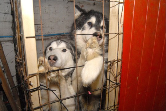 """FILE IMAGE. A vet who allowed 24 dogs and eight cats to starve - including 12 husky dogs found in a squalid cellar at his home - has been banned from practicing for life 19/7/2018. See Ross Parry Story RPYVET. Gary Samuel, 49, and his assistant and partner Rochelle McEwan, 28, were found guilty of neglect following a trial after the animals were found in a """"shocking"""" surgery."""