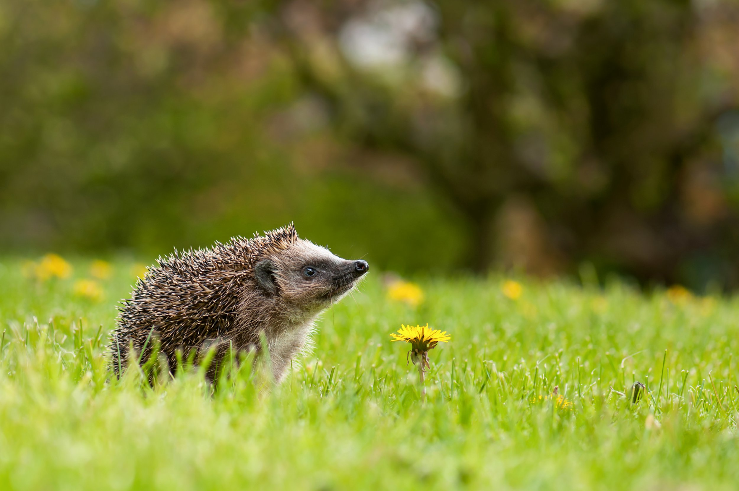 European hedgehog (Erinaceus europaeus) on the meadow with dandelion flower (Taraxacum officinale) in the garden.