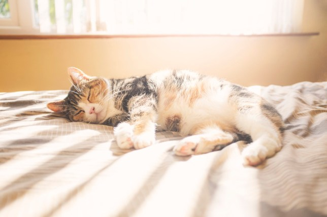 A beautiful calico cat stretches out in the stipes of sunlight on a warm bed.