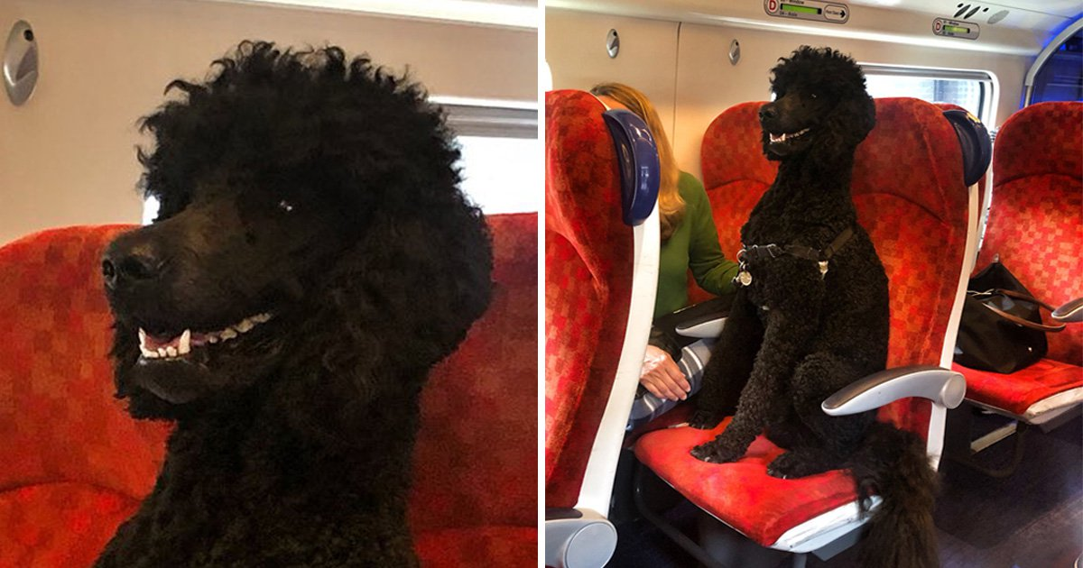 Poodle has the time of his life travelling on passenger train