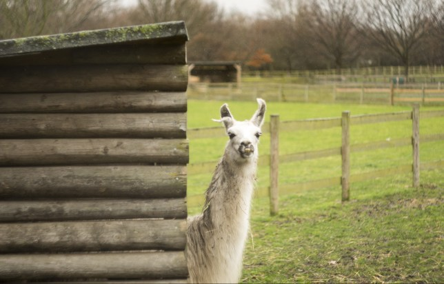 Llama antibodies, known as nanobodies, could help fight the virus (Getty Images)