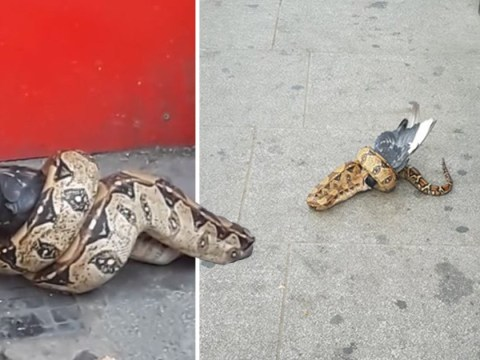 Boa constrictor seen strangling and eating a pigeon in middle of London street