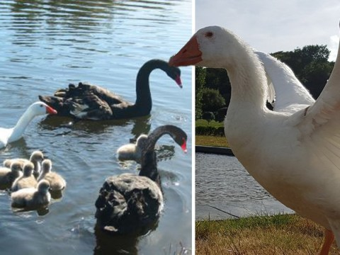 Gay goose and swan in relationship for 18 years could be immortalised