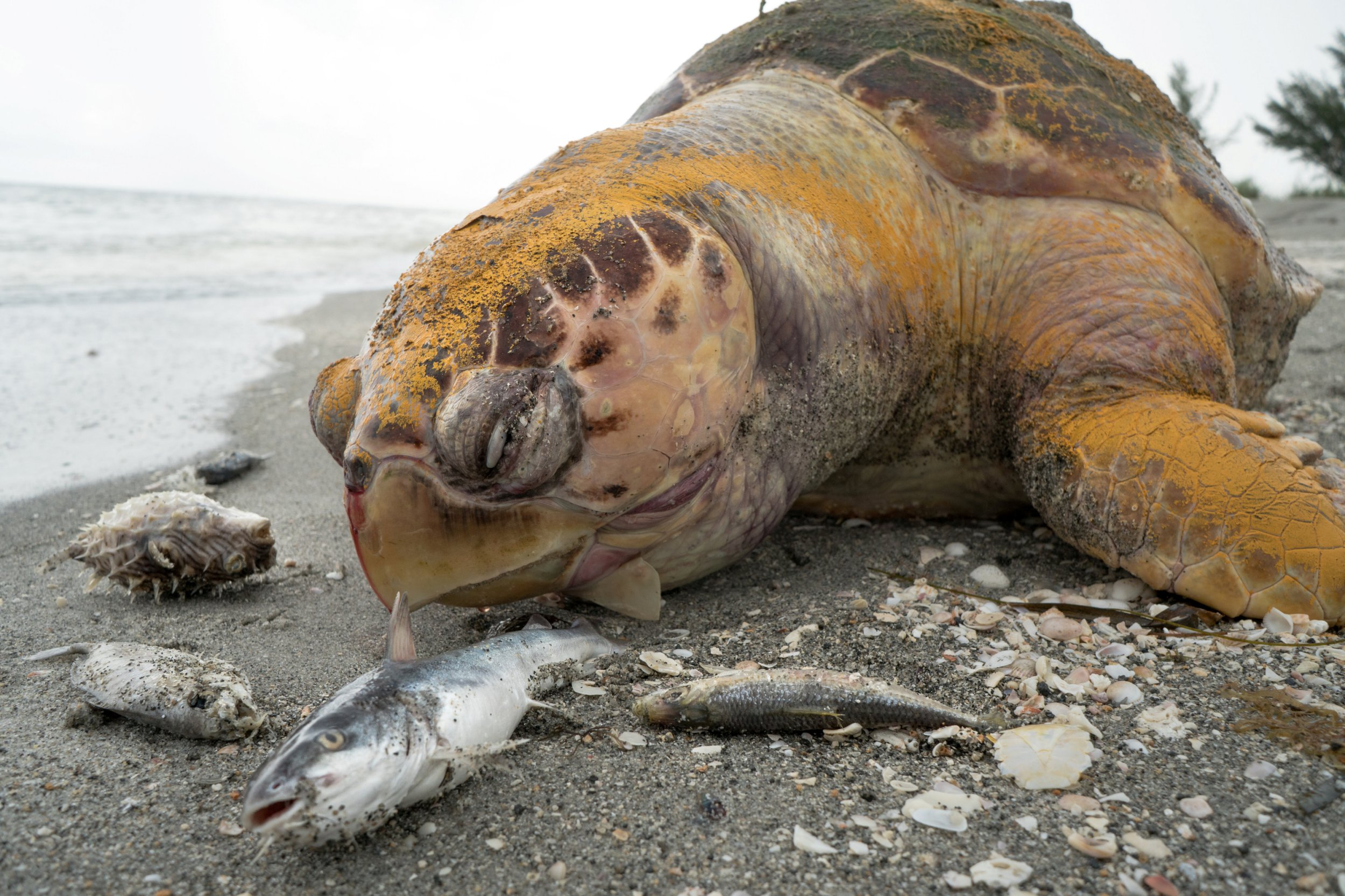 """These devastating videos show the corpses of sea turtles, manatees, dolphins and fish who perished on Florida???s coasts this week as a result of ongoing pollution. See SWNS story NYDEAD; The shocking devastation of wildlife is being caused by a red tide event, a blooming of algae which is worsened by sewerage and fertilizer pollution from super farms. The upsetting footage was captured by Ivy Yin, a videographer with Our Children???s Earth Foundation, who traveled to various beaches along Florida???s coast on July 30 and 31. The videographer captured footage of a dead endangered loggerhead turtle in Captiva, a lifeless manatee floating motionless in the water in Cape Coral and thousands of fish who perished in the ocean because of the algal bloom. Dr. Richard Bartleson, research scientist with Sanibel-Captiva Conservation Foundation, said: """"This red tide event has been prolonged by human activities such as farming, development and manufacturing. ???Over the past number of years, the build up of chemicals such as phosphorus and nitrogen, among other elements typically found in fertilizer have provided the perfect nutrients to worsen the bloom.??? The algal bloom is also impacting the turtle population, who are currently in the middle of their hatching season Heather Barron, head of the Center for the Rehabilitation of Wildlife Veterinarian Hospital on Sanibel, says the red tide outbreak has collided with the height of sea turtle reproduction."""